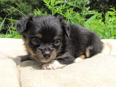 チワワ(ロング)の子犬(ID:1232811023)の4枚目の写真/更新日:2014-06-28