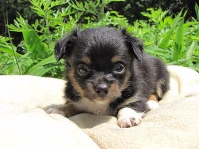 チワワ(ロング)の子犬(ID:1232811023)の5枚目の写真/更新日:2014-06-28