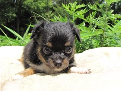 チワワ(ロング)の子犬(ID:1232811023)の6枚目の写真/更新日:2014-06-28