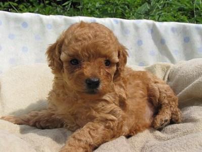 トイプードルの子犬(ID:1232811024)の1枚目の写真/更新日:2014-06-29