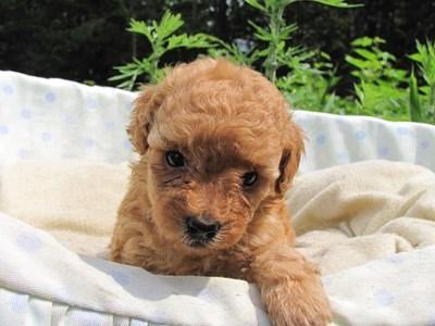 トイプードルの子犬(ID:1232811024)の2枚目の写真/更新日:2014-06-29
