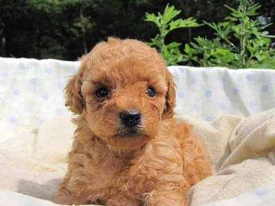 トイプードルの子犬(ID:1232811024)の3枚目の写真/更新日:2014-06-29