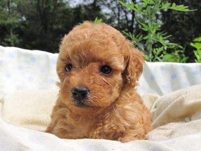 トイプードルの子犬(ID:1232811024)の4枚目の写真/更新日:2014-06-29