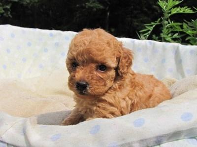 トイプードルの子犬(ID:1232811024)の5枚目の写真/更新日:2014-06-29