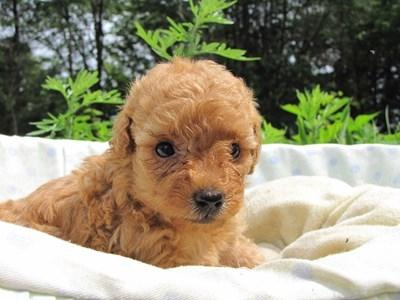 トイプードルの子犬(ID:1232811024)の6枚目の写真/更新日:2014-06-29