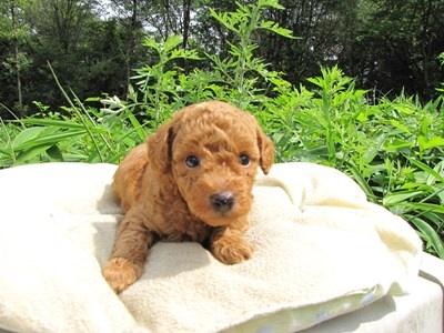 トイプードルの子犬(ID:1232811025)の1枚目の写真/更新日:2014-06-30