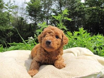 トイプードルの子犬(ID:1232811025)の2枚目の写真/更新日:2014-06-30