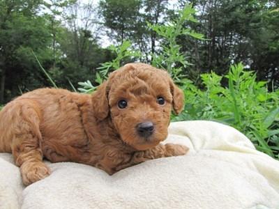 トイプードルの子犬(ID:1232811025)の3枚目の写真/更新日:2014-06-30