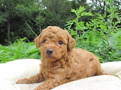 トイプードルの子犬(ID:1232811025)の4枚目の写真/更新日:2014-06-30