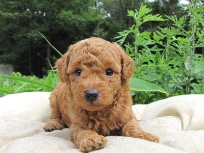 トイプードルの子犬(ID:1232811025)の5枚目の写真/更新日:2014-06-30