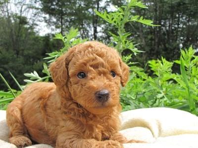 トイプードルの子犬(ID:1232811025)の6枚目の写真/更新日:2014-06-30