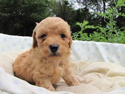 トイプードルの子犬(ID:1232811026)の2枚目の写真/更新日:2014-07-01