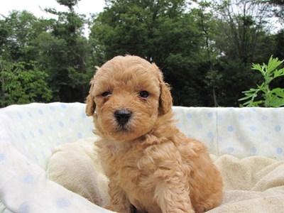 トイプードルの子犬(ID:1232811026)の3枚目の写真/更新日:2014-07-01
