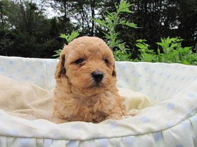 トイプードルの子犬(ID:1232811026)の4枚目の写真/更新日:2014-07-01