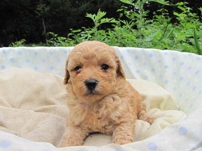 トイプードルの子犬(ID:1232811026)の5枚目の写真/更新日:2014-07-01