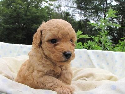 トイプードルの子犬(ID:1232811026)の6枚目の写真/更新日:2014-07-01