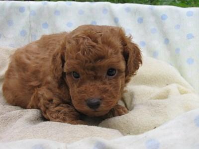 トイプードルの子犬(ID:1232811027)の1枚目の写真/更新日:2014-07-02