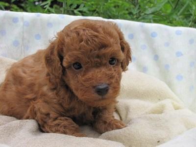 トイプードルの子犬(ID:1232811027)の2枚目の写真/更新日:2014-07-02