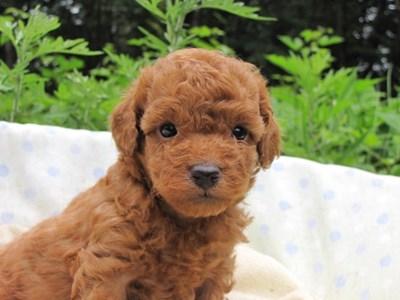 トイプードルの子犬(ID:1232811027)の3枚目の写真/更新日:2014-07-02