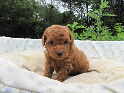 トイプードルの子犬(ID:1232811027)の4枚目の写真/更新日:2014-07-02