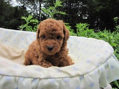 トイプードルの子犬(ID:1232811027)の5枚目の写真/更新日:2014-07-02