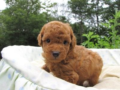 トイプードルの子犬(ID:1232811027)の6枚目の写真/更新日:2014-07-02