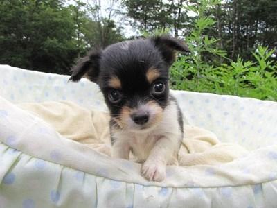 チワワ(ロング)の子犬(ID:1232811028)の1枚目の写真/更新日:2014-07-03