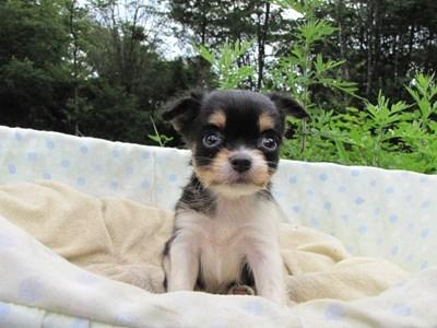 チワワ(ロング)の子犬(ID:1232811028)の2枚目の写真/更新日:2014-07-03