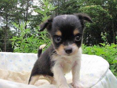 チワワ(ロング)の子犬(ID:1232811028)の3枚目の写真/更新日:2014-07-03