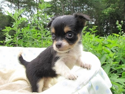 チワワ(ロング)の子犬(ID:1232811028)の4枚目の写真/更新日:2014-07-03