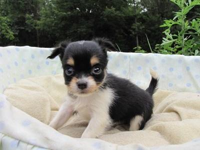 チワワ(ロング)の子犬(ID:1232811028)の5枚目の写真/更新日:2014-07-03