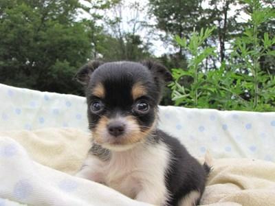 チワワ(ロング)の子犬(ID:1232811028)の6枚目の写真/更新日:2014-07-03