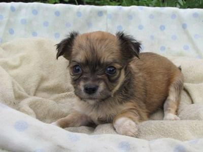 チワワ(ロング)の子犬(ID:1232811029)の1枚目の写真/更新日:2014-07-04