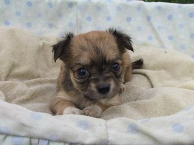 チワワ(ロング)の子犬(ID:1232811029)の2枚目の写真/更新日:2014-07-04