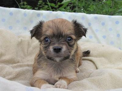 チワワ(ロング)の子犬(ID:1232811029)の3枚目の写真/更新日:2014-07-04
