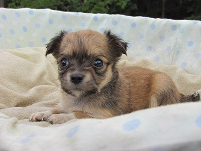 チワワ(ロング)の子犬(ID:1232811029)の4枚目の写真/更新日:2014-07-04
