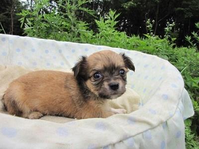 チワワ(ロング)の子犬(ID:1232811029)の5枚目の写真/更新日:2014-07-04