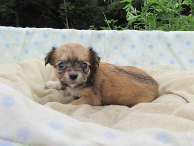 チワワ(ロング)の子犬(ID:1232811029)の6枚目の写真/更新日:2014-07-04