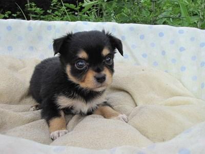 チワワ(ロング)の子犬(ID:1232811030)の1枚目の写真/更新日:2014-07-05