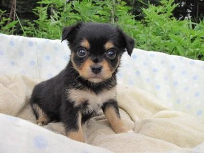 チワワ(ロング)の子犬(ID:1232811030)の2枚目の写真/更新日:2014-07-05