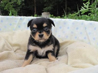 チワワ(ロング)の子犬(ID:1232811030)の3枚目の写真/更新日:2014-07-05