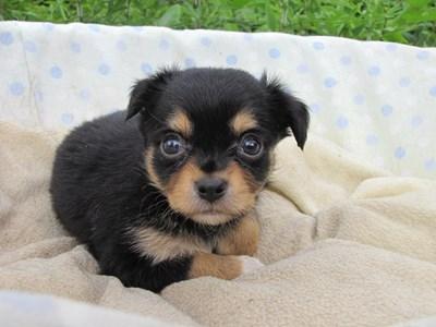 チワワ(ロング)の子犬(ID:1232811030)の4枚目の写真/更新日:2014-07-05