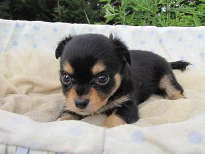 チワワ(ロング)の子犬(ID:1232811030)の6枚目の写真/更新日:2014-07-05