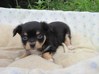 チワワ(ロング)の子犬(ID:1232811031)の1枚目の写真/更新日:2014-07-06