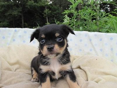 チワワ(ロング)の子犬(ID:1232811031)の3枚目の写真/更新日:2014-07-06
