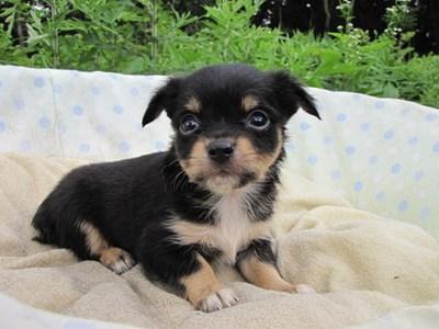 チワワ(ロング)の子犬(ID:1232811031)の4枚目の写真/更新日:2014-07-06