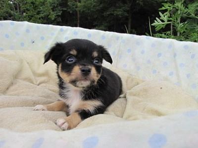 チワワ(ロング)の子犬(ID:1232811031)の5枚目の写真/更新日:2014-07-06