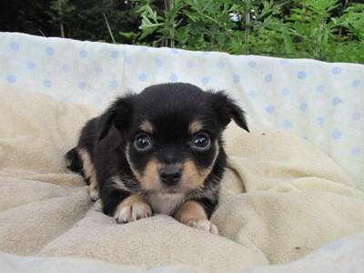 チワワ(ロング)の子犬(ID:1232811031)の6枚目の写真/更新日:2014-07-06