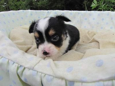 チワワ(ロング)の子犬(ID:1232811032)の1枚目の写真/更新日:2014-07-07