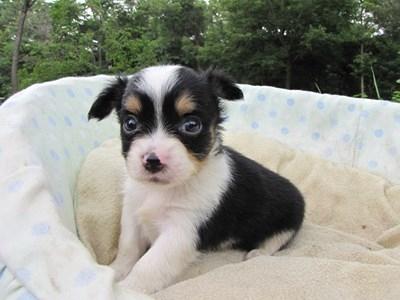 チワワ(ロング)の子犬(ID:1232811032)の2枚目の写真/更新日:2014-07-07